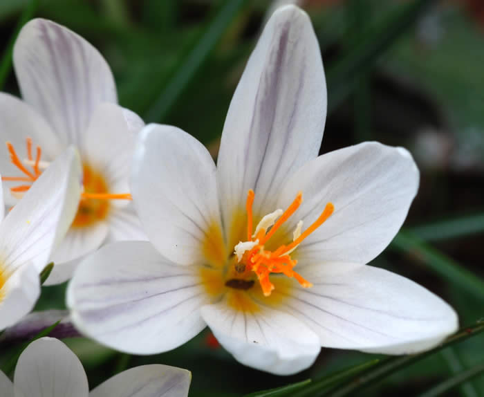 Crocus tournfortii