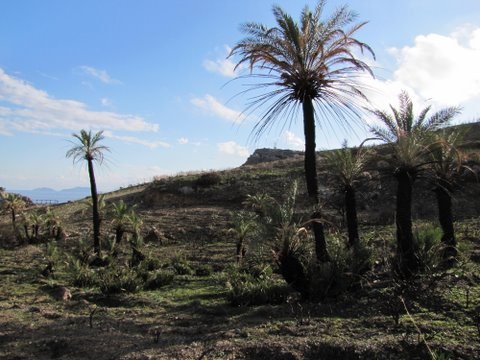 Cretan palms at Préveli recovering after fire damage