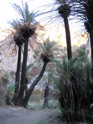 Preveli palms recovering after fire